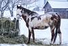 180103-42 Le bariolé (clamato39) Tags: horse cheval animal outside provincedequébec québec canada hiver winter snow neige