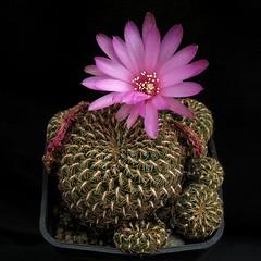 Sulcorebutia augustinii G184 '070' (Pequenos Electrodomésticos) Tags: cactus cacto flower flor sulcorebutia sulcorebutiaaugustiniig184