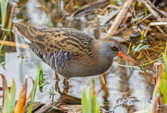 DSC7212  Water Rail (jefflack Wildlife&Nature) Tags: waterrail rails waterbirds waterways birds avian animal animals reservoirs canals ponds lakes countryside nature ngc coth5 npc
