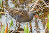 DSC7212  Water Rail (jefflack Wildlife&Nature) Tags: waterrail rails waterbirds waterways birds avian animal animals reservoirs canals ponds lakes countryside nature