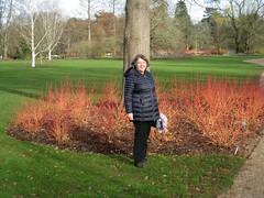 cornus #2 (streetr's_flickr) Tags: rhswisley landscape garden cornus dogwood conaceae