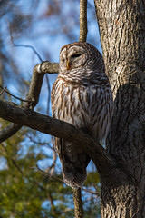 Barred Owl (rob.wallace) Tags: winter 2018 barred owl raptor perched huntley meadows park alexandria va