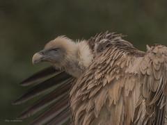 Gänsegeier ....... (wernerlohmanns) Tags: gefährlich greifvögel geier gänsesäger outdoor natur nikond750 sigma150600c schärfentiefe fleischfresser deutschland zoo duisburgerzoo