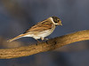 Reed Bunting (m) (Gary McHale) Tags: reed bunting male rspb old moor