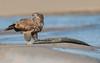 Juvi Bald Eagle (salmoteb@rogers.com) Tags: bird wild outdoor juvi bald eagle nature wildlife fish water