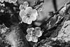 R0019438 (Mickey Huang) Tags: ricoh gxr grlensa1250mmf25macro taiwan 梅山公園 black white bw monochrome mono 黑白 plum blossom 梅花 flower
