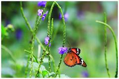 樺斑蝶    Danaus chrysippus (Alice 2018) Tags: 2017 hongkong bokeh green butterfly canon canoneos7d eos7d nature canonef70200mmf4lisusm plant autumn flower insect saariysqualitypictures aatvl01
