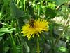 CKuchem-5847 (christine_kuchem) Tags: biene blüte blüten garten insekten löwenzahn nahrung natur naturgarten nektar pflanze privatgarten selbstaussaat selbstaussaathonigbiene sommer wildpflanze gelb naturnah natürlich wild bienenweide