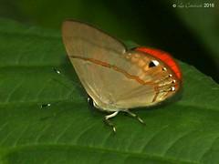 Euselasia janigena ? (LPJC) Tags: euselasiajanigena metalmark manu peru 2016 lpjc butterfly