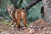Iberian Lynx (Lynx pardinus) (JCaballero73) Tags: lince ibérico lynx pardinus