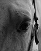 Intriguing (John Neziol) Tags: jrneziolphotography portrait animalphotography animal horsephotography horse horseandfriends halter ponyhorse forterieracetrack forterieontario beautiful bright blackwhite monochrome horseeye horsehair nikon nikoncamera nikondslr nikond80 naturallight equine eye eyelashes