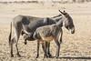 Una escena en el desierto. (Victoria.....a secas.) Tags: sáhara chad desierto desert burros donkey boche