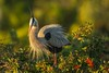 Quite a dandy (ChicagoBob46) Tags: greatblueheron blueheron heron bird florida veniceareaaudubonsocietyrookery rookery nature wildlife coth5 ngc npc