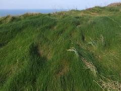 Windswept grass on clifftop (Philip_Goddard) Tags: grass windswept clifftop patterning devon northcoast coastpath southwestcoastpath southwestway nature scenic southwestengland england unitedkingdom britain british britishisles greatbritain uk europe