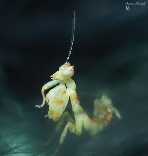 Theopropus elegans (Banded Flower Mantis) (2nd instar)
