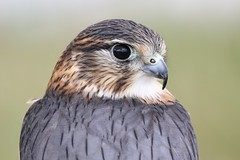 MERLIN (CAPTIVE) (merseymouse) Tags: merlin raptor birdsofprey birds nature wildlife