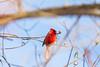 november 2017 lake katherine (timp37) Tags: bird cardinal lake katherine illinois 2017 november palos