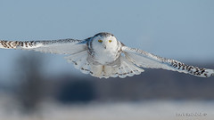 Snowy Owl (Earl Reinink) Tags: bird owl raptor animal winter snow landscape outdoors nature naturephotography earl reinink earlreinink niagara ontario eyes snowyowl ihaaududza