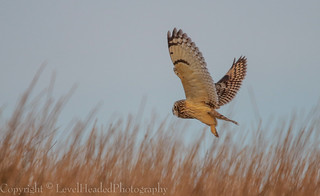 Short Eared Owl - (Asio flammeus) 'Z' for zoom