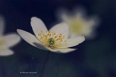 (Monica Muzzioli) Tags: flower flowers textures nature white macro