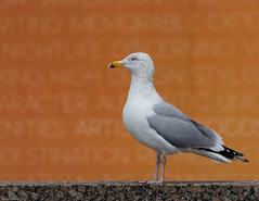 Herring Gull 1R (1 of 1) (vern Ri) Tags: gull herring baltic aves birds oiseau grey white black