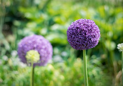 Graue Schalotte (Thilo Gellert) Tags: nikon d3300 green flower flowers nature light park macro garden plants natur together sunny contrast colour purple lilac bicoloured orb shallot 50mm