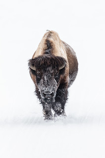 Lone bull bison on a snowy road