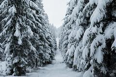 Our Own Ways (desomnis) Tags: forest wood woodland nature winter snow cold path trees landscape forestpath winterscape snowcovered böhmerwald bohemianforest bohemia upperaustria österreich oberösterreich mühlviertel šumavanationalpark 5d canon5dmarkiv canon5d 35mm sigma35mm sigma35mmf14dghsmart sigma35mmf14 sigma35mmf14art