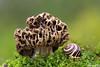 Shush! (Vie Lipowski) Tags: snail detritivore morchellaesculenta commonmorel spongemushroom mushroom shroom toadstool wildlife nature macro