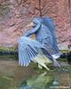 "A Tri-colored Heron  ""Egretta tricolor"" (Harry Rother) Tags: aquatic heron"