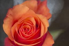 Week 7/52 (Tres Seis Cinco) Tags: 52week 52weekphotoproject week7 rose orange bokeh texture textured texturised