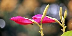 রক্তকাঞ্চন ~ Bauhinia variegata ~ Hongkong orchid (sajan-164) Tags: রক্তকাঞ্চন bauhiniavariegata hongkongorchid outdoor ramna dhaka bangladesh sajan164