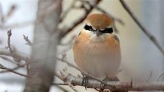 I'm watching you (coniferconifer) Tags: 百舌鳥 モズ bullheadedshrike shrike