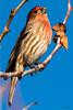 Bright Red and Blue (MelRoseJ) Tags: elkgrove california unitedstates us sonyalpha sony sonyilca77m2 sal70200g a77ii alpha autofocus birds nature northerncalifornia housefinch