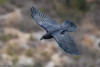 Grand Corbeau - 2018-02-19 Baronnies (marczoccarato) Tags: nikond5 grandcorbeau corvuscorax nature birds nikkor500f4e wildlife oiseaux northernraven baronnies