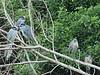 Yellow-crowned Night-Herons 02-20180114 (Kenneth Cole Schneider) Tags: florida miramar westmiramarwca