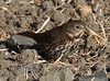 Sooty Fox Sparrow (Passerella iliaca [unalaschcensis Group]) 10-21-2017 Ellis Creek Water Recyling Facility, Sonoma Co. CA 6 (Birder20714) Tags: birds california sparrows emberizidae passerella iliaca