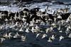 Dunlin in Flight (Calidris alpina) (gcampbellphoto) Tags: calidris alpina dunlin wader shorebird flight bif bird atlantic sea shore north antrim northern ireland gcampbellphoto