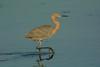Toe tapper (ChicagoBob46) Tags: reddishegret egret bird florida jndingdarlingnwr sanibel sanibelisland nature wildlife ngc coth5