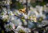 21 febbraio 2016, api al lavoro (adrianaaprati) Tags: bee bees flowers bloom work nature beauty hardiness park branch tree blur bokeh