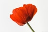 Giant Poppy (The Little Window) Tags: amapola bamburg flores inglaterra poppy macro england flower red one big