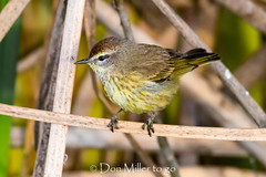 Palm Warbler (DonMiller_ToGo) Tags: wildlife rookery nature bird birds outdoors birdwatching warbler d810 venicerookery florida