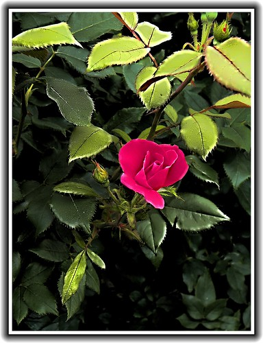 Sonnenberg Gardens & Mansion Historic Park ~ Canandaigua NY - Rose