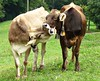 Cow's Kiss (Daphne-8) Tags: cows mucca vaca kuh koe koeien cattle vieh braunvieh vee kiss küss beijo bacio beso baiser bisou vaches mucche animals tiere gado bestiame ganado bétail bovins bovine bestiaux