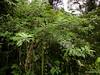 Iochroma calycinum? Solanaceae (Ecuador Megadiverso) Tags: amazon andreaskay ecuador flower iochromacalycinum rainforest solanaceae violet