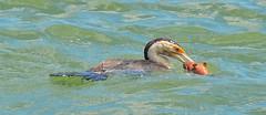 DSC_0010 (2) (RUMTIME) Tags: bird nature coochiemudlo coochie queensland cormorant