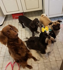 Doesn't matter what are you eating... We want!!! (Joao Otavio Nunes) Tags: dogs cães dachshund shitzu pug pets