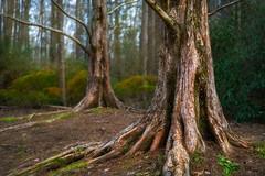 Trunkated Pairing (David Arbogast) Tags: callawaygardens pinemountain georgia landscape spring azalea bloom forest trunk