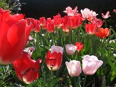 Peju Winery Flowers (Tabo Kishimoto) Tags: peju winery flowers spring
