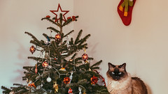 09.01.2018 (Fregoli Cotard) Tags: cat birmanese birman birmancat browncat unimpressedcat unimpressedface christmas christmastree christmasdecorations christmaspresents christmastag christmasforever catportrait catsofflickr beautifulcat blueeyedcat dailyjournal dailyphotography dailyproject dailyphoto dailyphotograph dailychallenge everyday everydayphoto everydayphotography everydayjournal aphotoeveryday 365everyday 365daily 365 365dailyproject 365dailyphoto 365dailyphotography 365project 365photoproject 365photography 365photos 365photochallenge 365challenge photodiary photojournal photographicaljournal visualjournal visualdiary 9365 9of365
